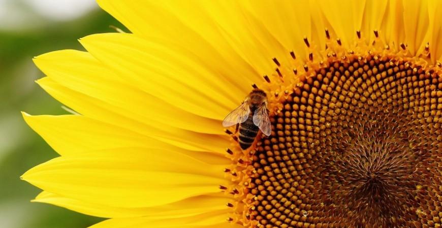 خسارة الحشرات القادرة على تلقيح البيئة خصوصا النحل من شأنه التأثير سلباً في قدرة البشر على توفير المحاصيل الغذائية (بي إكس هير)