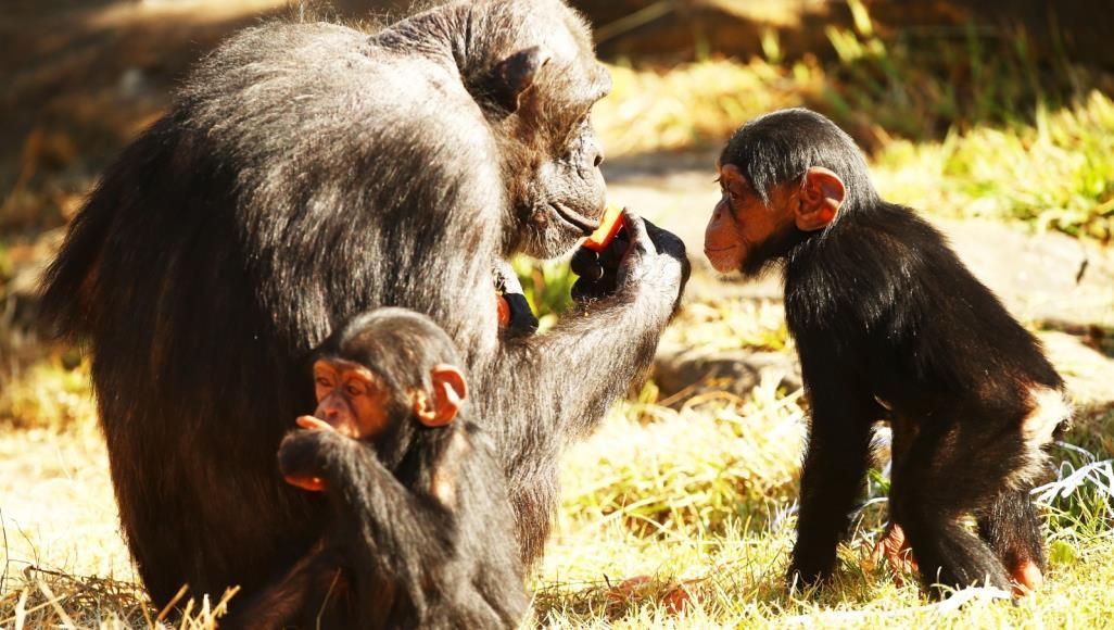 الشمبانزي فعلها.. استخراج الطعام من الأرض ليس حكرا على البشر