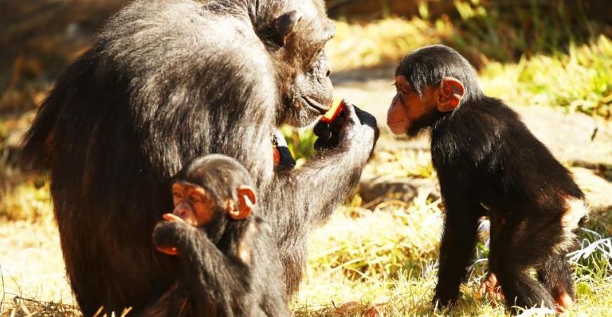 الشمبانزي تستخدم أدوات عفوية لاستخراج الأطعمة المدفونة (غيتي)