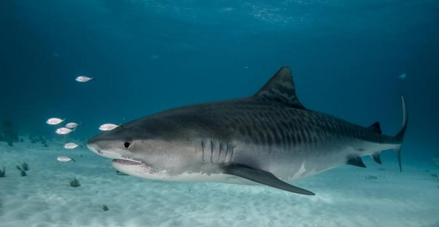 اكتشف العلماء ان صغار سمك القرش يقتاتون على الطيور ايضا (عن موقع اوسيانا)