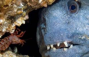 """سمكة """"نافقة"""" تطحن علبة معدنية بفكّيْها! (فيديو)"""