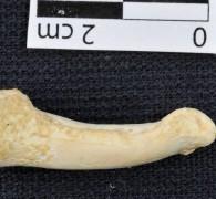 مات منذ 40 ألف سنة ولكن رأسه محفوظة في جليد سيبيريا