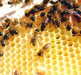 نصف مليار نحلة ماتت خلال 3 أشهر في البرازيل