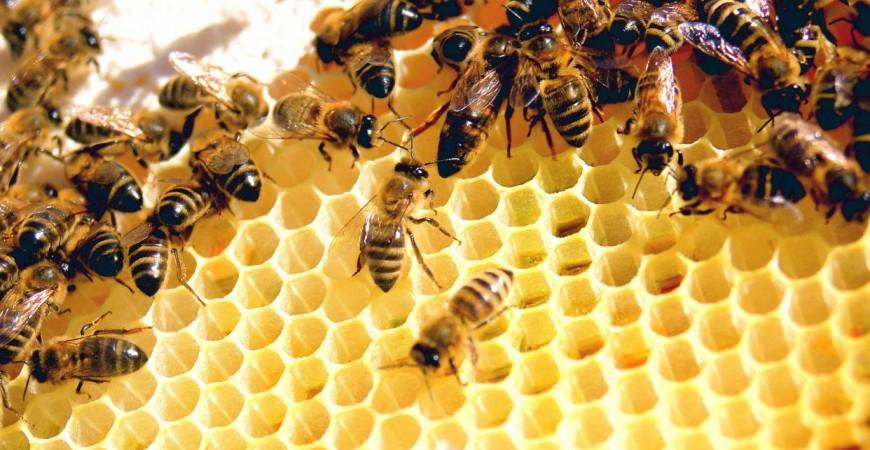 النحل مهدد بسبب المبيدات الحشرية (ويكيبيديا.أورغ)
