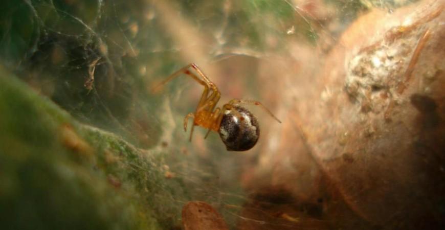عنكبوت من نوع أنيلوسيموس ستوديوسوس الذي يعيش بسواحل المحيط الأطلنطي بالولايات المتحدة الأميركية والمكسيك (يوريكا أليرت)
