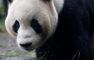 بمناسبة ميلاد اثنين من الباندا... الرئيس الصيني وملك بلجيكا يتبادلان التهاني