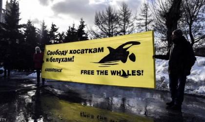 روسيا تحرر آخر الحيتان المحتجزة بأمر بوتن